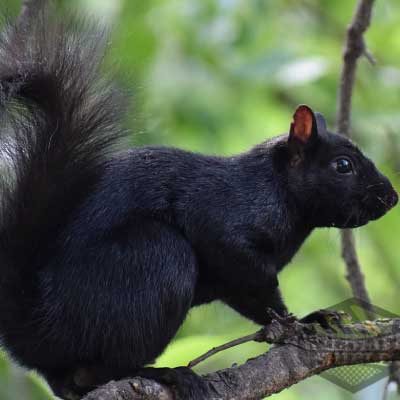 black-squirrel-removal-inner-page-image-400x400