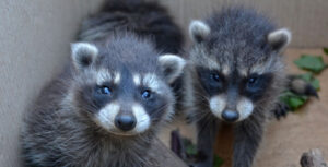 4-Ways-to-Get-Rid-of-Raccoons-Living-In-Your-House