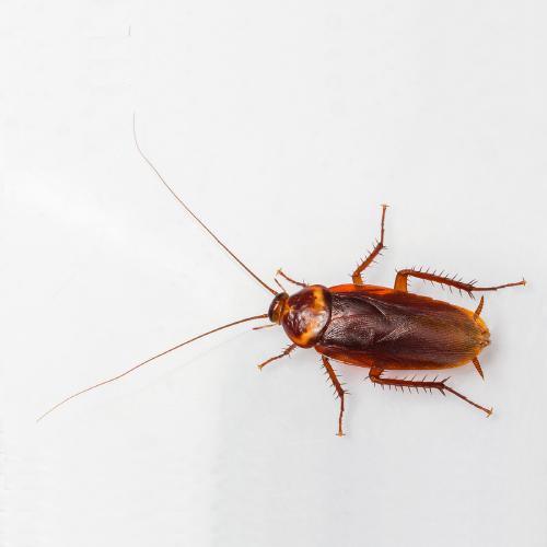 american-cockroach-PRO-TRAP-PEST-CONTROL-SERVICES