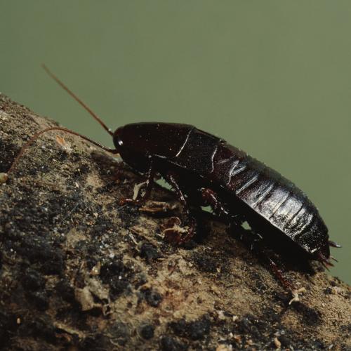 oriental-cockroach-PRO-TRAP-PEST-CONTROL-SERVICES