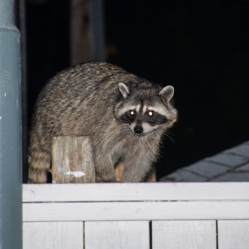 raccoon-on-the-top-of-a-fence