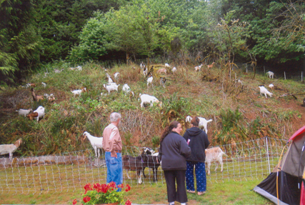 Hill cleared by goats