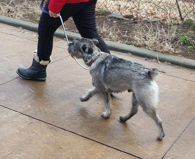 dog walking exercise schnauzer ancaster