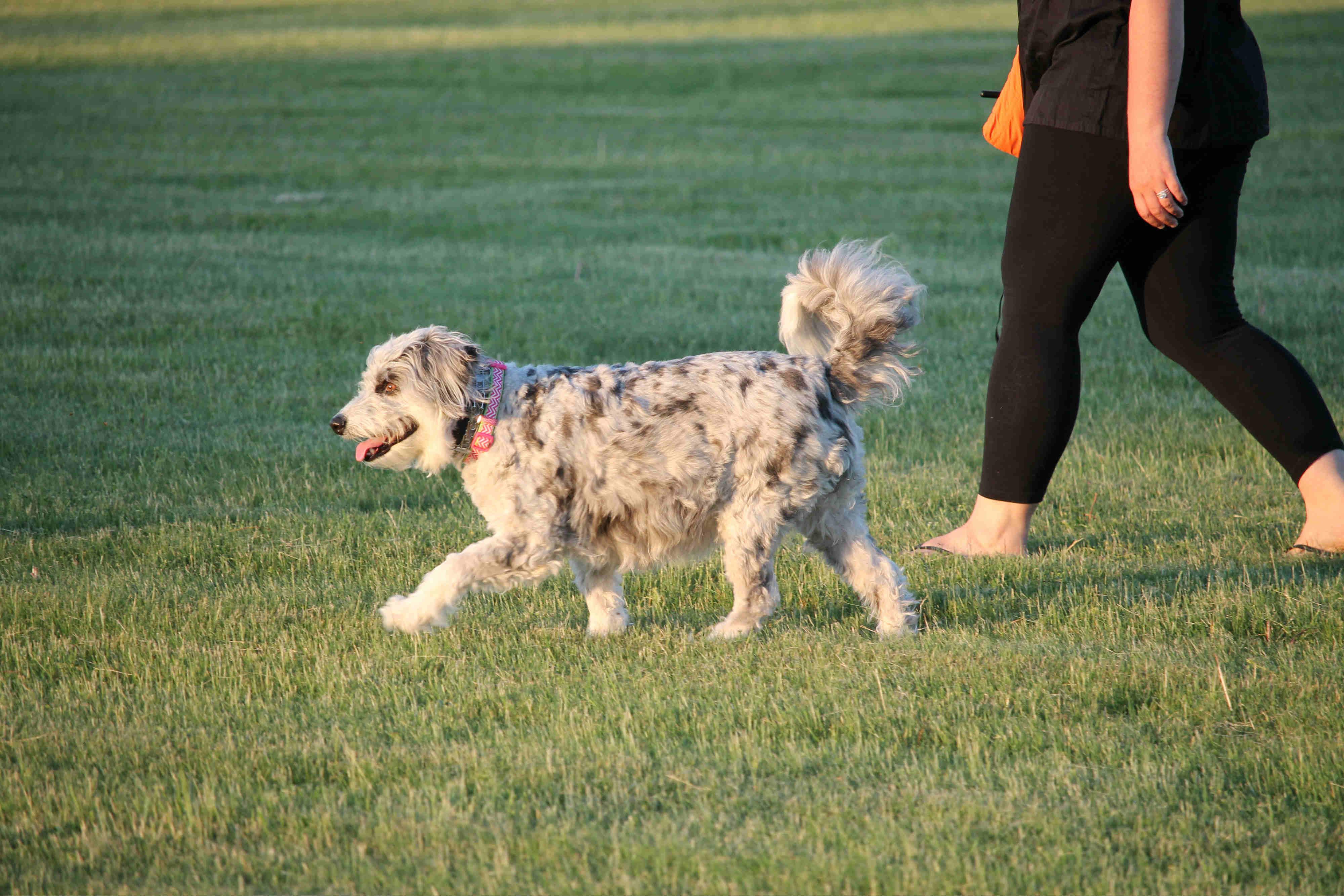 dog training hamilton