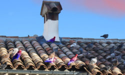 Thumbnail pinkoe Pidgeons on pantile roof blue goes pink
