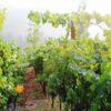 summer grapevines
