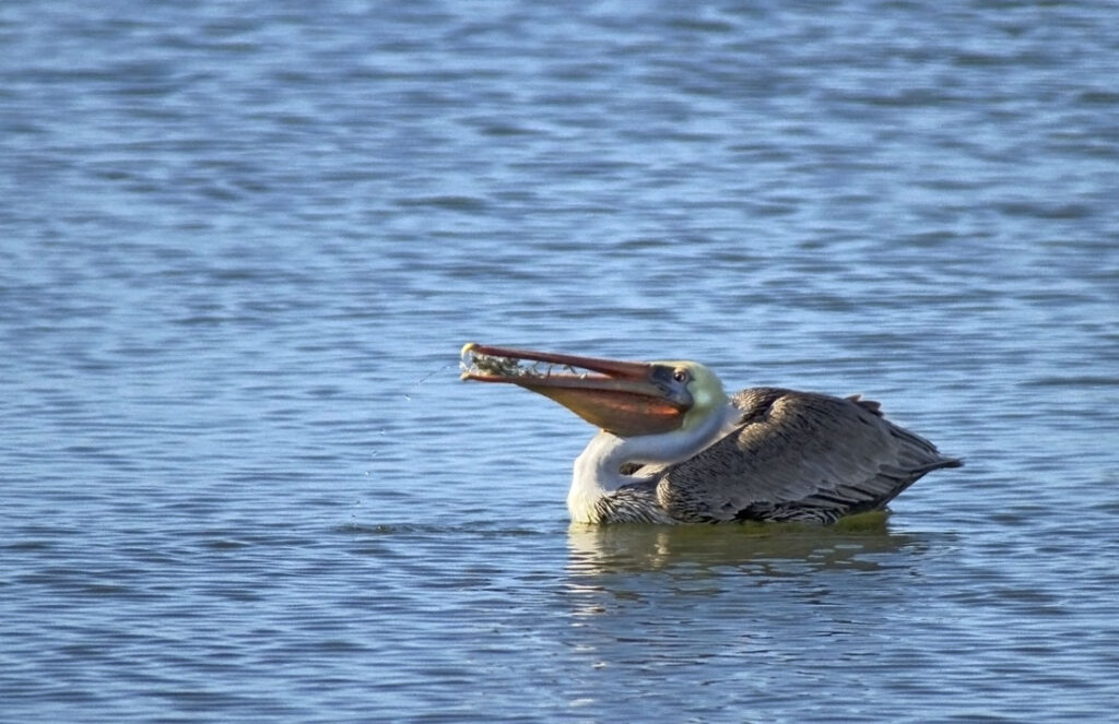 Brown Pelican Eating Smelt