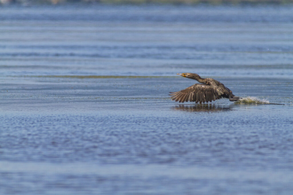Double-crest Cormorant