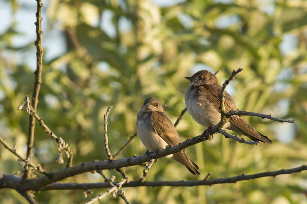 Northern Rough-winged Swallow Fledglings