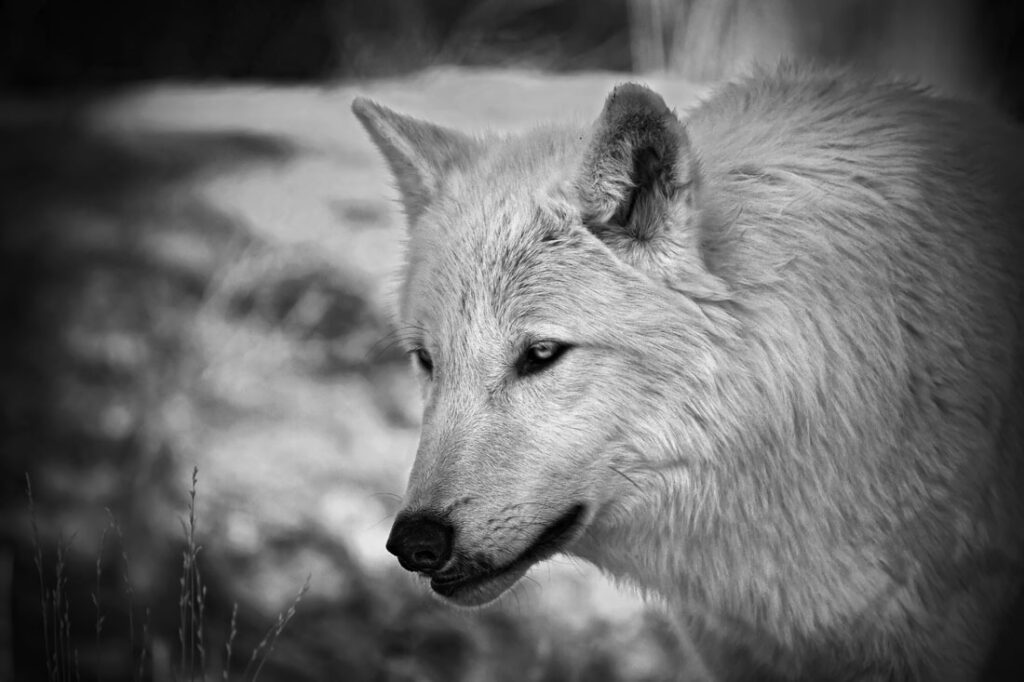 Timber Wolf Looking of Into the Distance