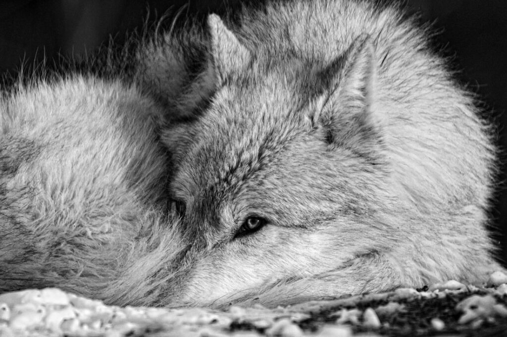 Timber Wolf Ready to Nap