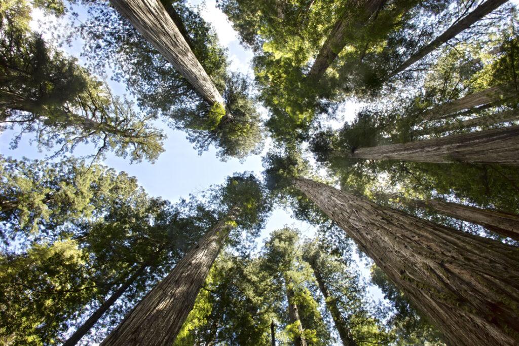 Redwood Tops in Perspective