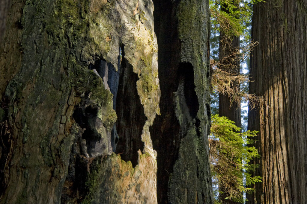 Redwood Tree Bark