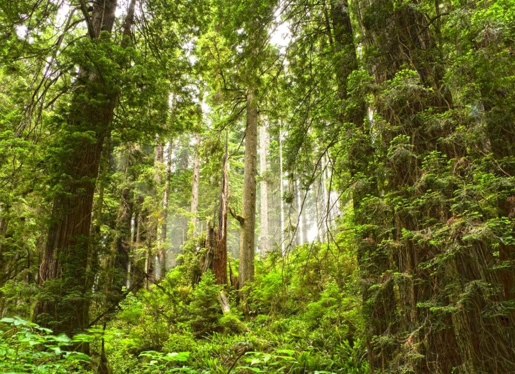 Redwoods on Ossagon Trail