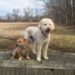 """Remi & Andrew - Their favorite activity is walking CHF park. They're particularly skilled at: """"Being loved""""!"""