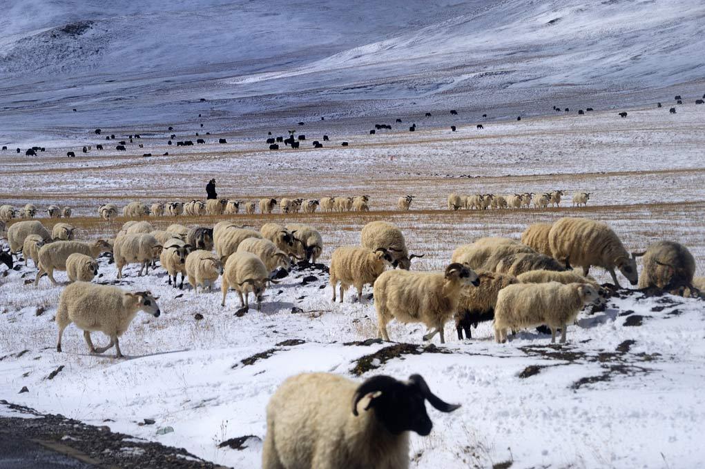 Tibetan sheep