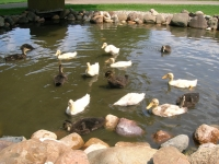 BR Ducks