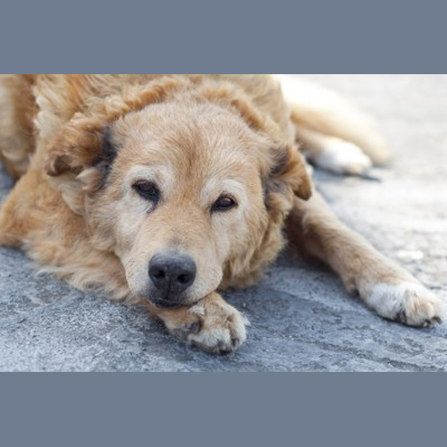 senior dog 5