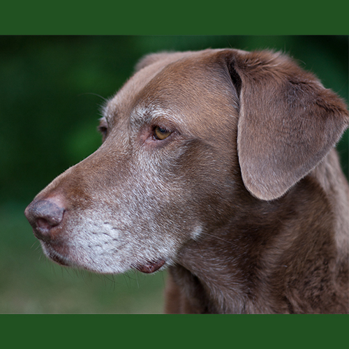 gresham-animal-hospital_tips_for_caring_for_your_senior_dog