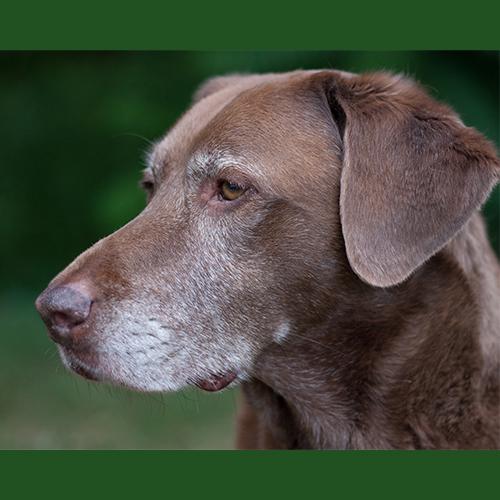 gresham-animal-hospital_tips_for_caring_for_your_senior_dog