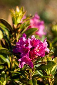 Alpen Rose