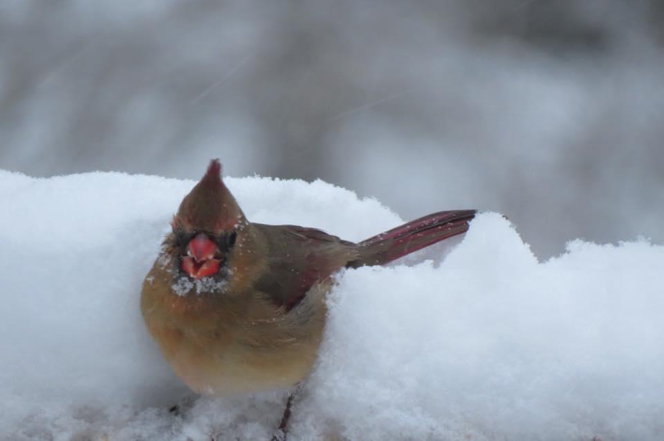Female Cardinal - Saugatuck, Michigan