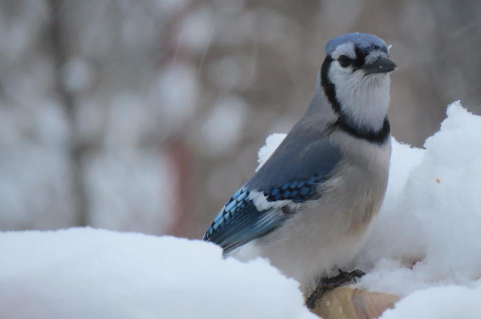 Blue Jay - Saugatuck, Michigan