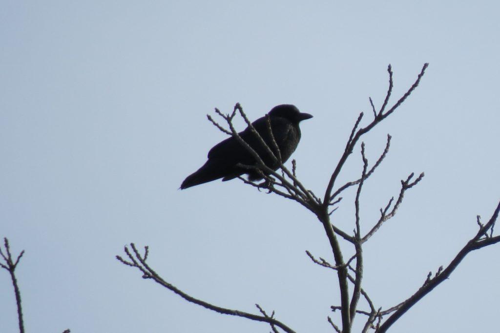 American Crow - Saugatuck, Michigan