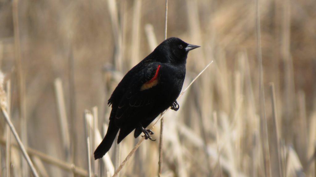 Red Winged Blackbird, Douglas, MI