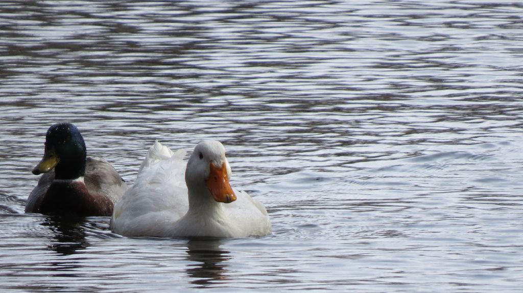 Mallard and a Pekin Duck - Saugatuck. MI