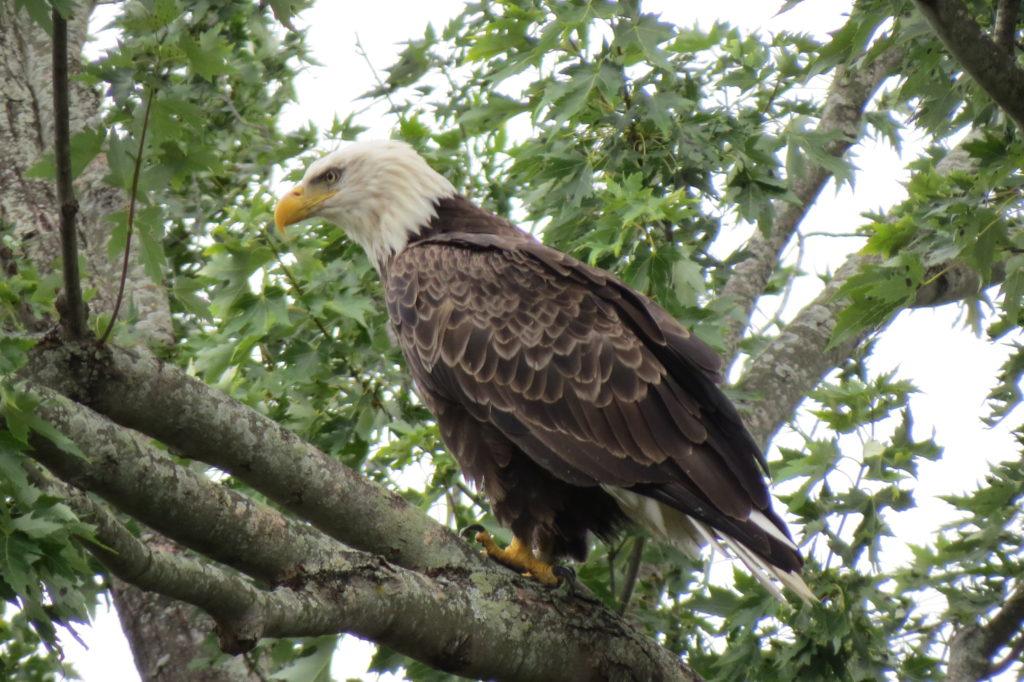 American Bald Eagle - Saugatuck, Michigan