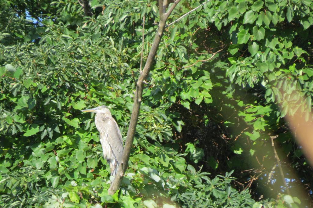 Great Blue Heron - Saugatuck, Michigan