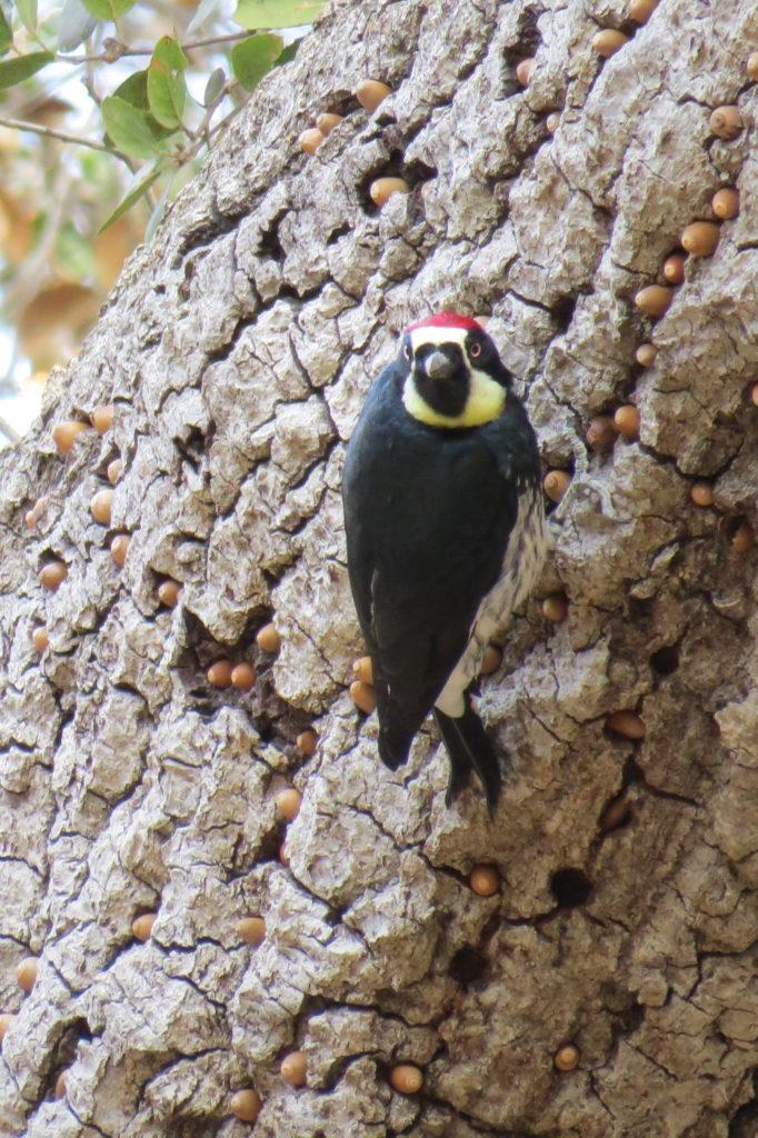 Acorn Woodpecker - Fallbrook, CA
