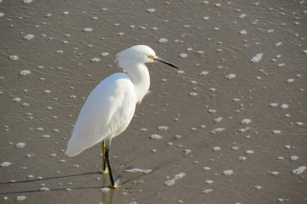 Snowy Egret - Santa Cruz, CA