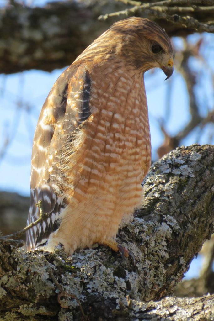 Red-Shouldered Hawk - Jasper, MO