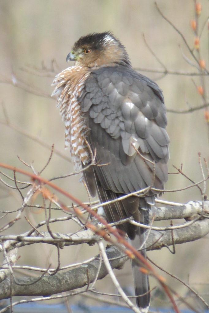 Female Cooper's Hawk - Saugatuck, MI