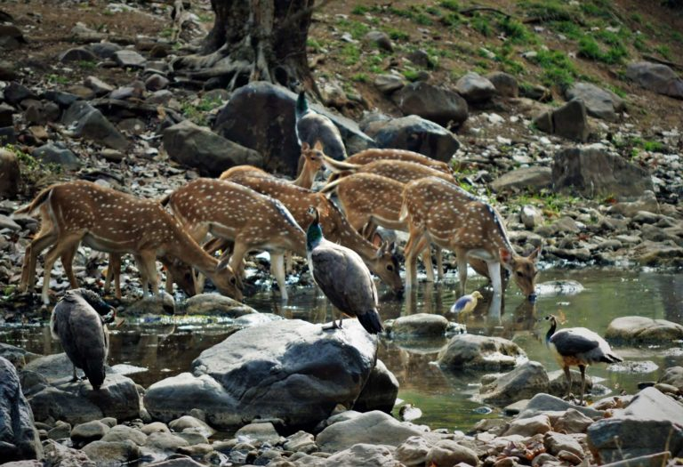 Chital family