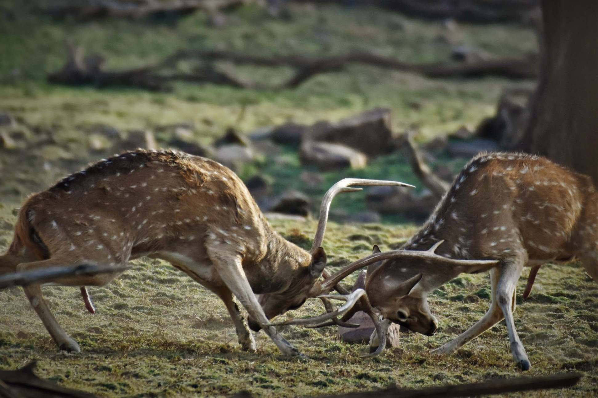 Chital fight
