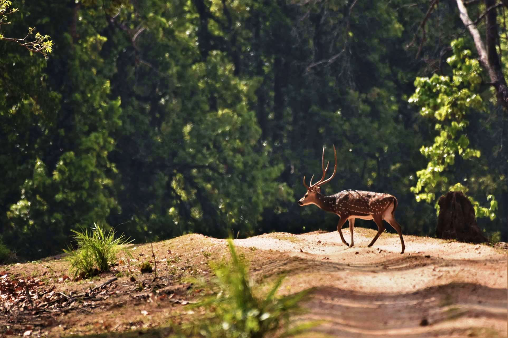 Spotted Deer crossing road