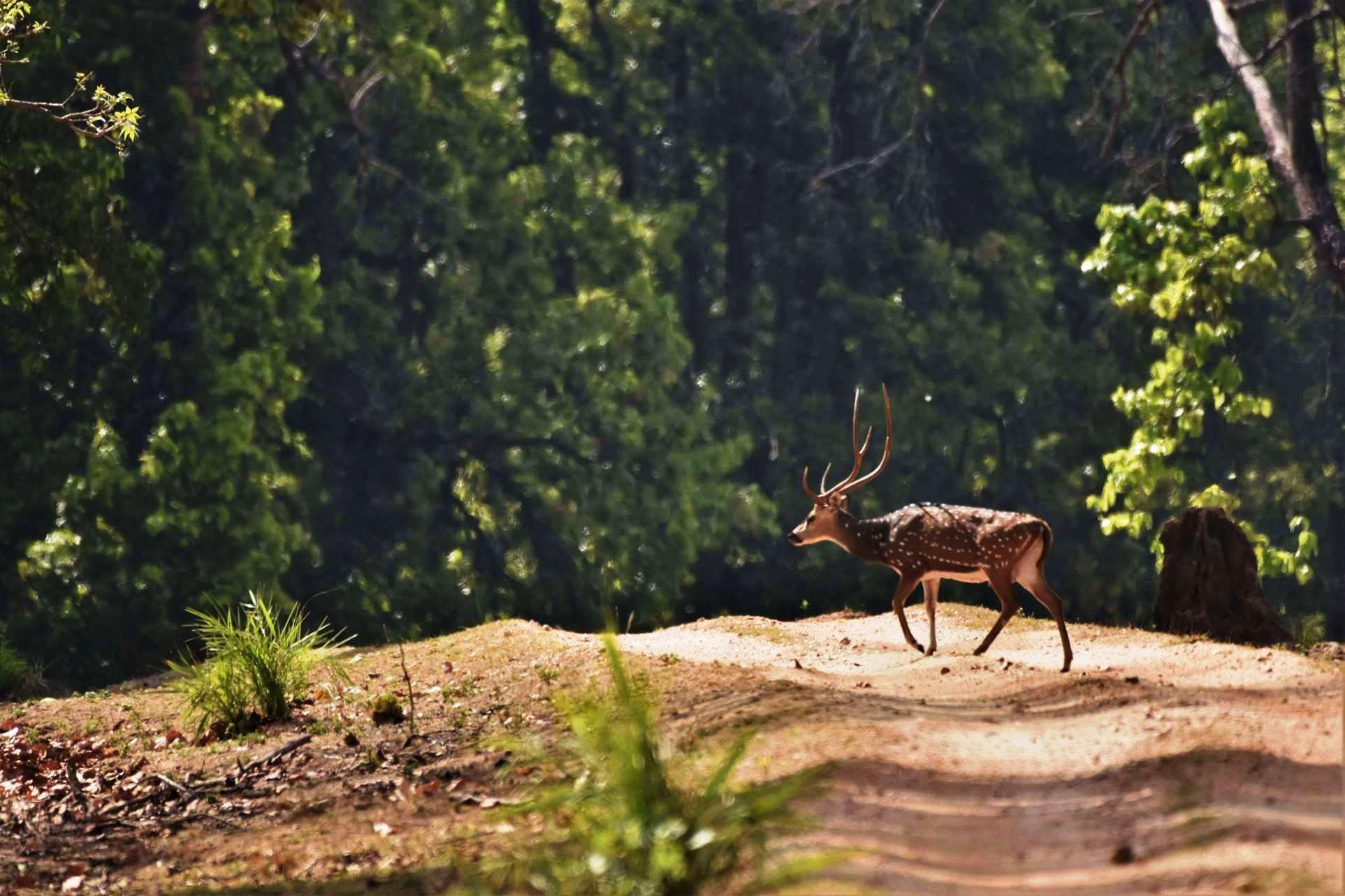 Spotted Deer crossing road