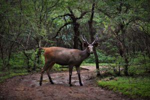 Samber Deer