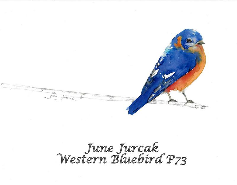 jj2016-11 p73 western bluebird