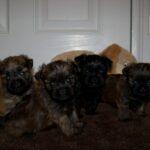 Taser x Tasha pups