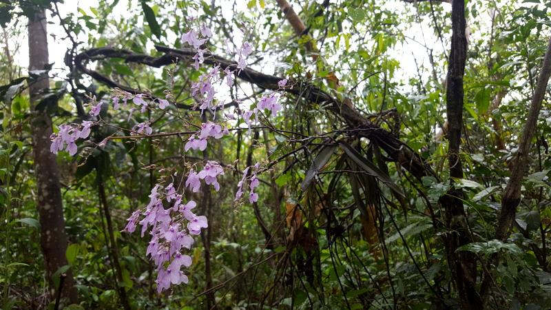 Epiphyte restoration in Brazil's Atlantic Forest