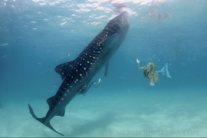 Mermaid Melissa Mermaid and Whale Shark swimming underwater