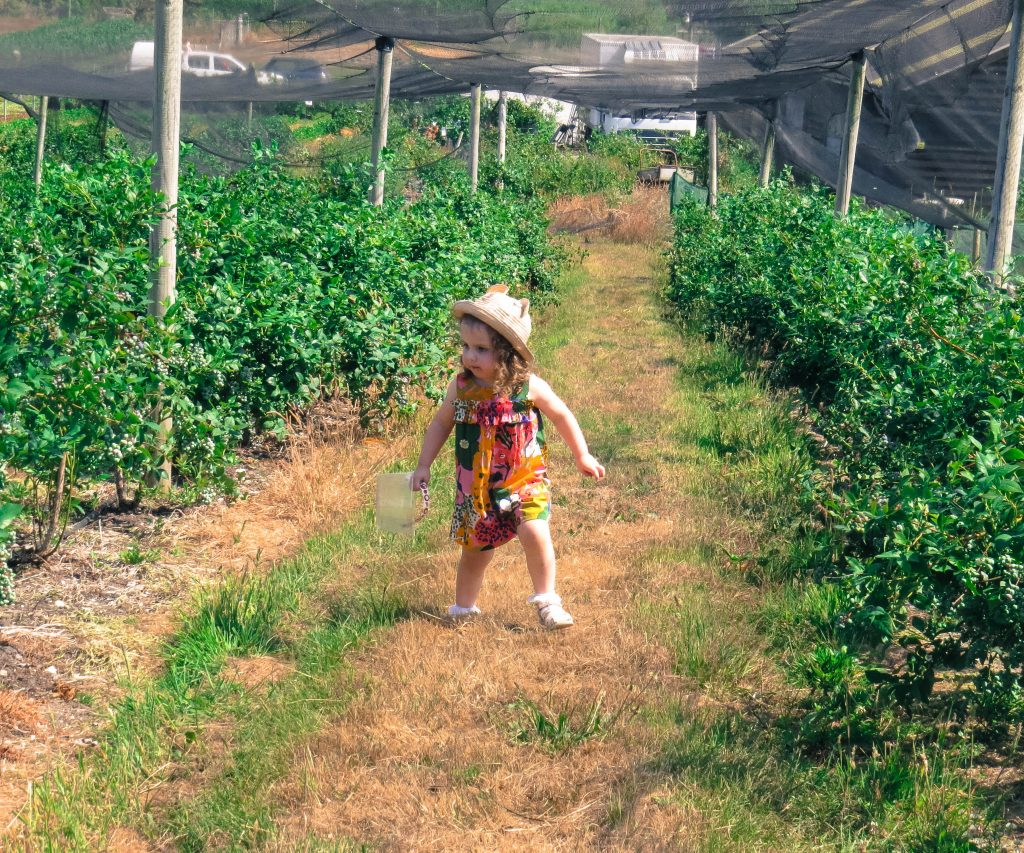 alyssa in a playsuit and hat walking up the centre of rows and rows of blueberry bushes