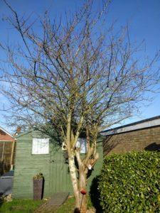 Greengage Tree