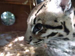 Close view of an Ocelot face