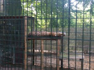 Picture through wire of a Jaguar sleeping on it's back