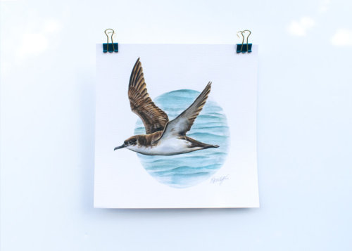 Manx-Shearwater-Art-Print